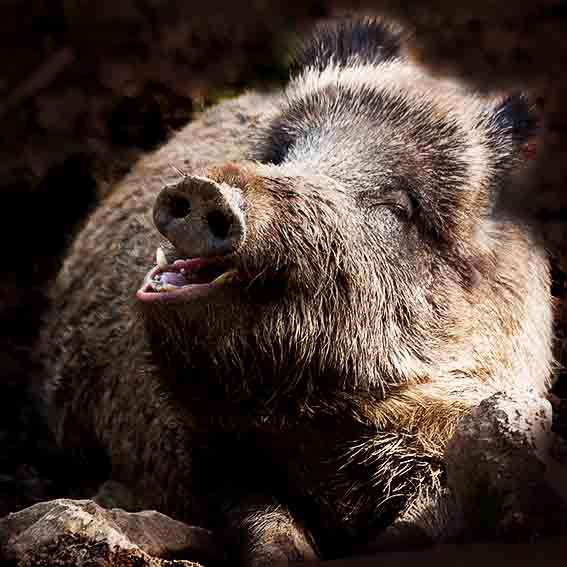 Wildschwein lächelt freundlich