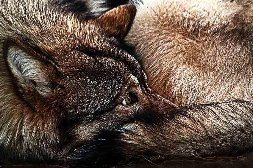 Wolf ruht